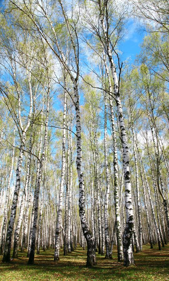 Spring birches on blue sky stock image