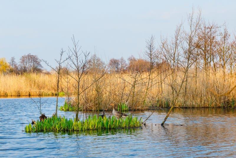 Bird reserve in near Kolobrzeg, Poland. Spring in a bird reserve in near Kolobrzeg, Poland royalty free stock images
