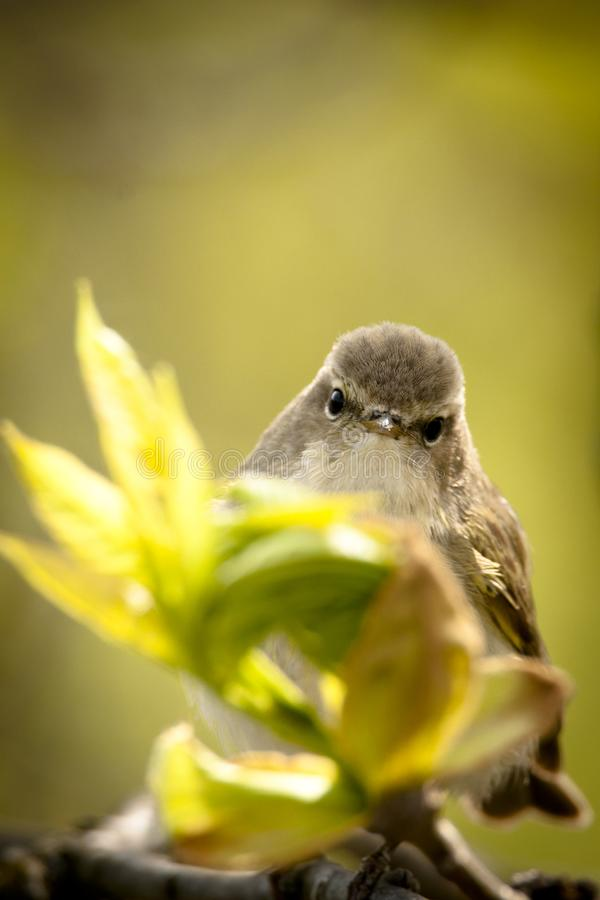 Spring bird-watching Common Chiffchaff stock images