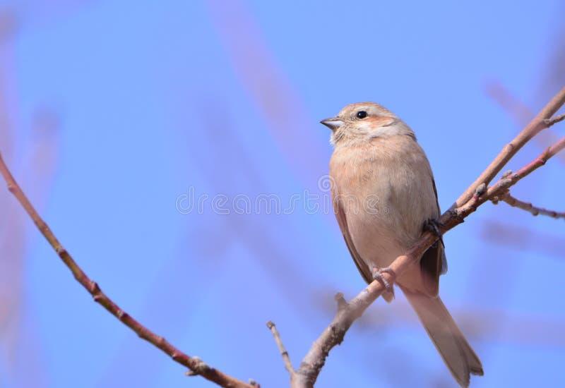 Spring birds royalty free stock photography