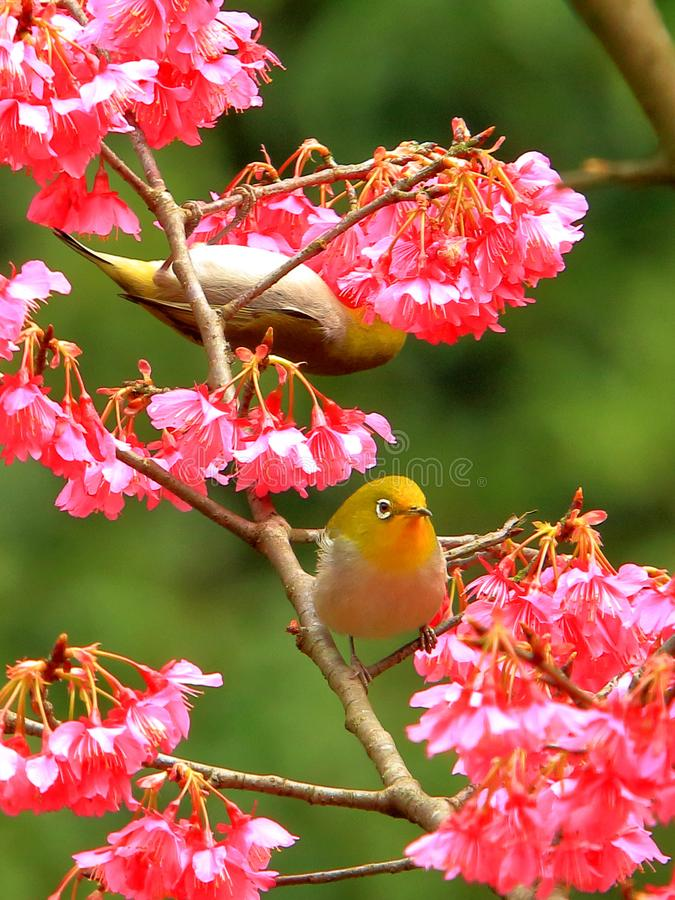 Spring, birds and flowers, and dark green silver eyes blossoms. royalty free stock images