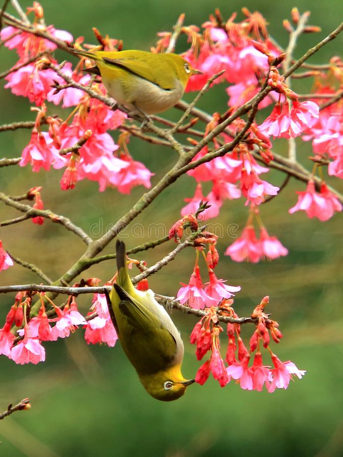 Spring, birds and flowers, and dark green silver eyes blossoms. stock images