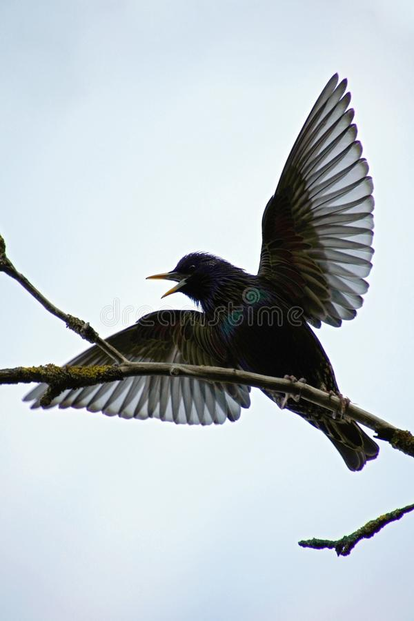 Spring birds singing. Starling in April on a branch of an apple tree sings a spring song. Silhouette of a bird against the sky stock photography