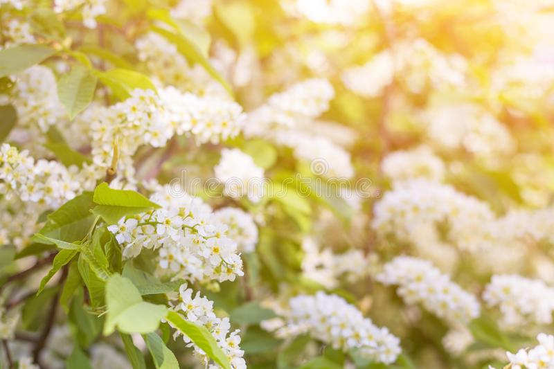 Spring bloom, blossom in sunlight, blurred abstract bokeh backgroud royalty free stock photos