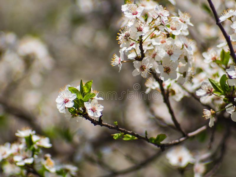 Spring bloom flowers - small white flowers stock photos