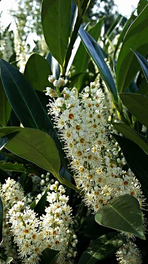 Spring Bloom: Puget Sound. White beauties soaking up sunshine in Auburn, Washington royalty free stock images
