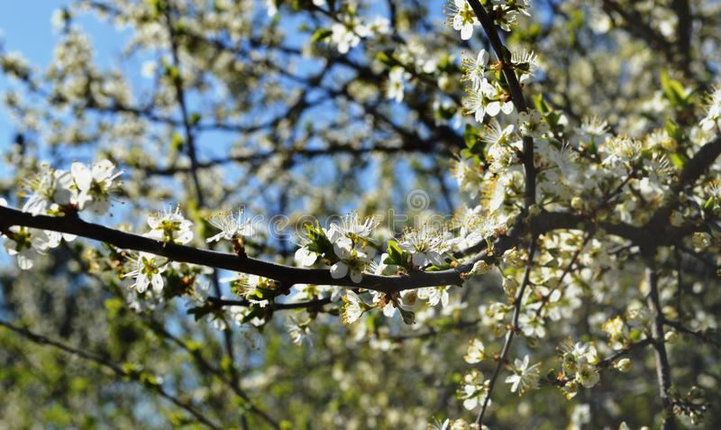 The spring bloom in russia of the cherry trees white flowers stock download the spring bloom in russia of the cherry trees white flowers stock image image mightylinksfo
