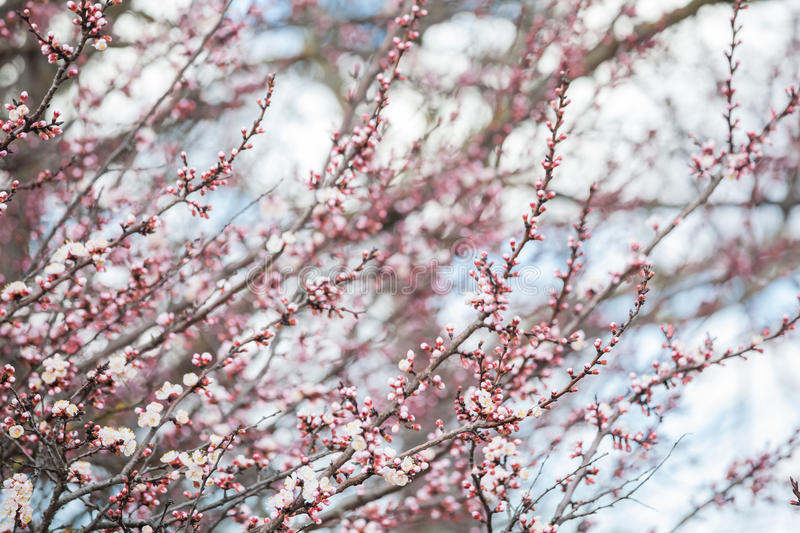 Spring bloom royalty free stock photo