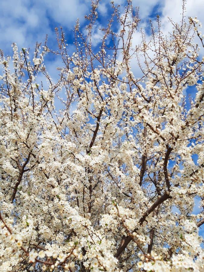 Few spring white blooms of tree stock photo