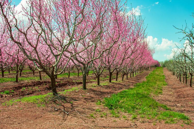 Peach fruit tree branches during flowering with flowers stock photo