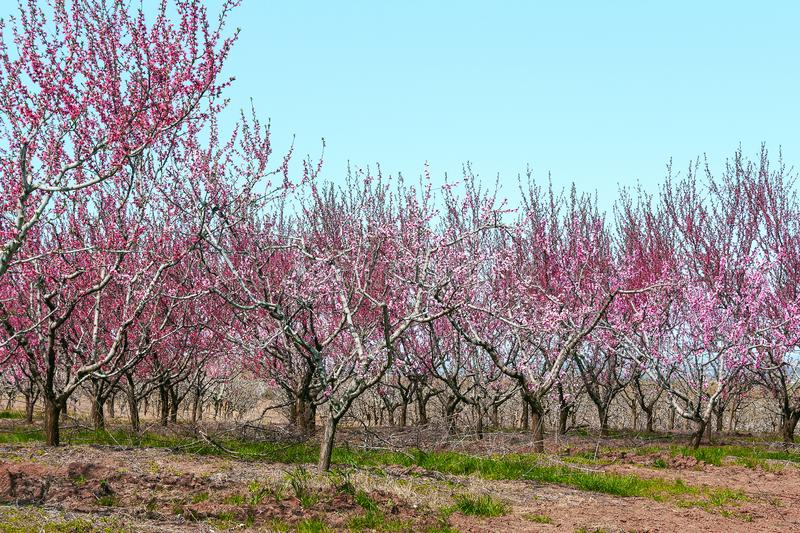 Orchard with peach trees during flowering royalty free stock photography