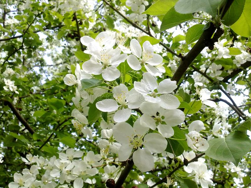 Spring blooming apple tree in bloom trees bloom foliage spring download spring blooming apple tree in bloom trees bloom foliage spring greens spring blossoms blooming trees mightylinksfo