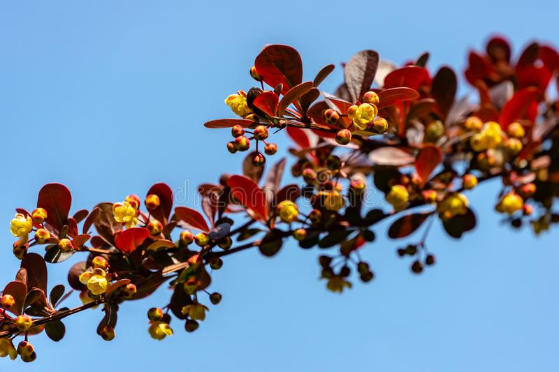 Spring blooming of barberry. Beautiful yellow small flowers of Berberis thunbergii Atropurpurea on branches. With purple leaves against beautiful bokeh stock image