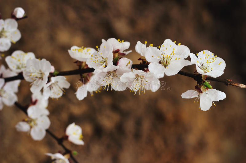 Spring blooming cherry branch royalty free stock photography