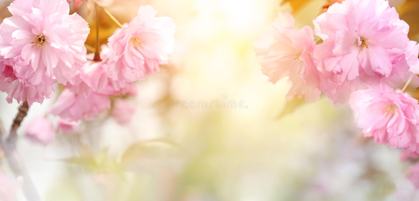 Spring blooming cherry flowers royalty free stock photos