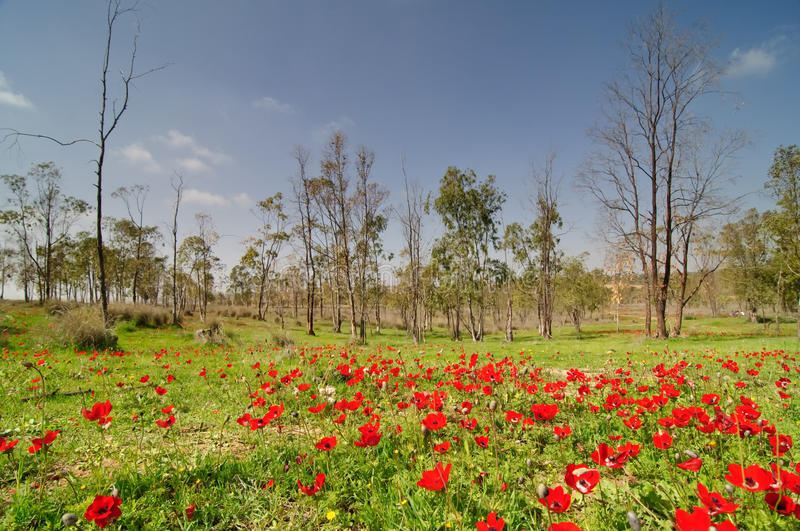 Spring in a blooming East Negev desert stock photo