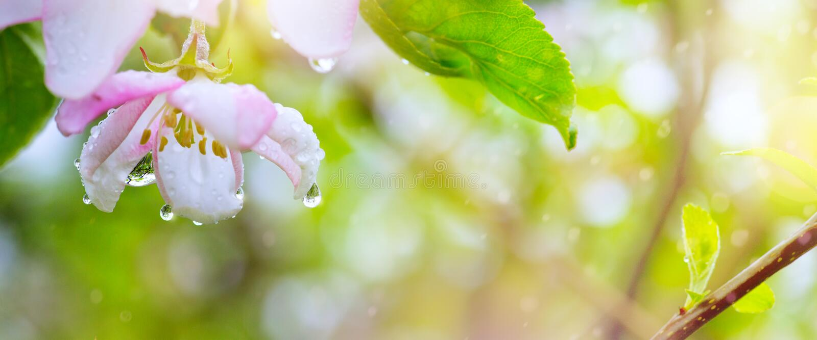 Spring Blooming flower background; Beautiful pink tree blossom and spring rain stock images