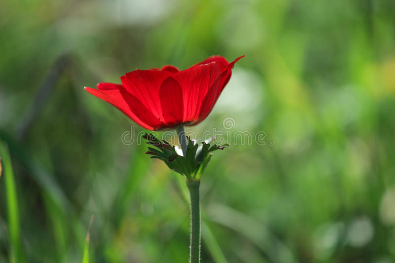 A spring blooming flower red anemone stock image