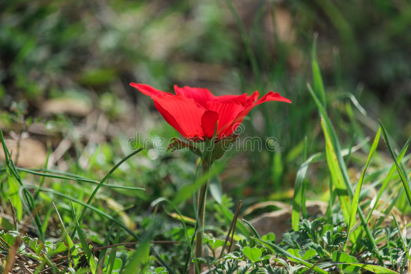 A spring blooming flower red anemone Among stones royalty free stock images