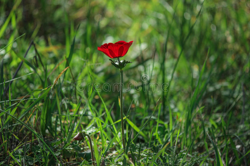 A spring blooming flower red anemone Among stones stock photography