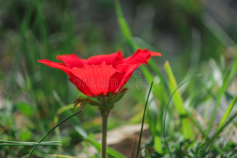 A spring blooming flower red anemone Among stones royalty free stock photo