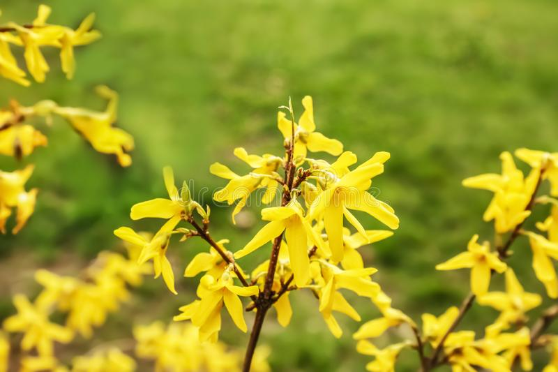 Spring blooming Forsythia shrub with many beautiful flowers. In park stock photography