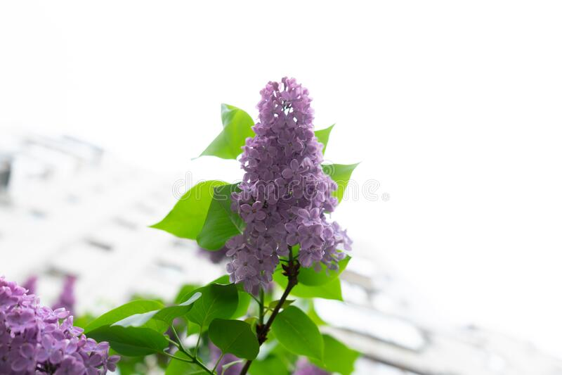 Spring blooming lilac flowers. Sunny spring day.  stock image