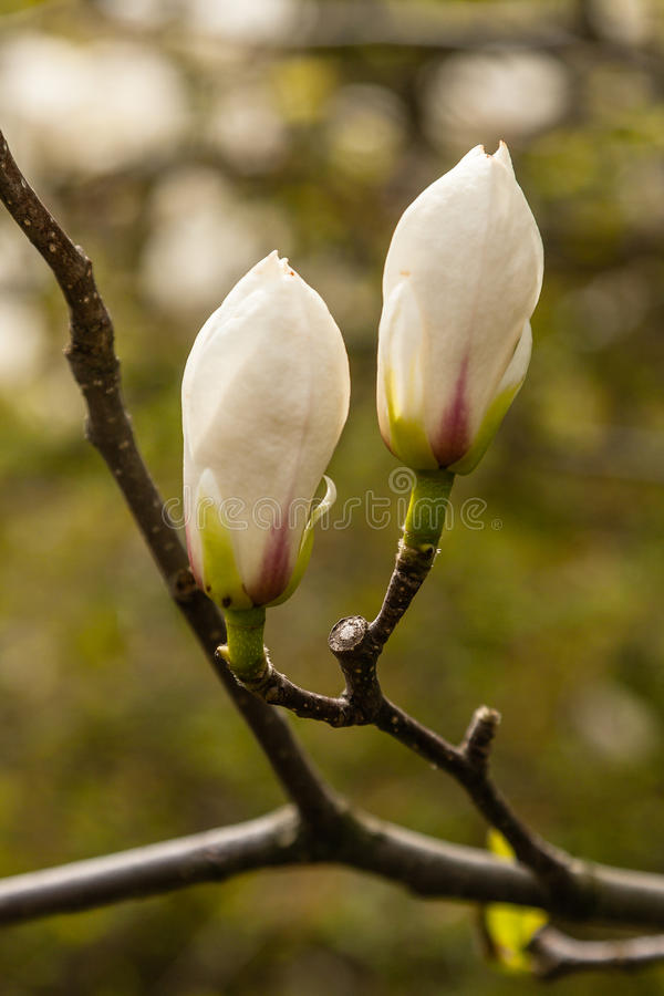 Spring blooming magnolia of white and pink color royalty free stock image