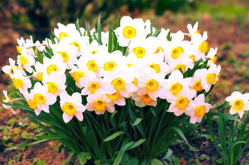 Spring blooming narcissuses, selective focus, toned. Narcissus flower yellow, white. Daffodils white yellow. Narcissus L. stock photography