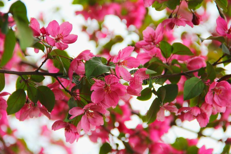 Spring blooming Ranet stock photo