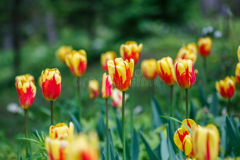 Rhododendron yellow, Vladivostok royalty free stock photos