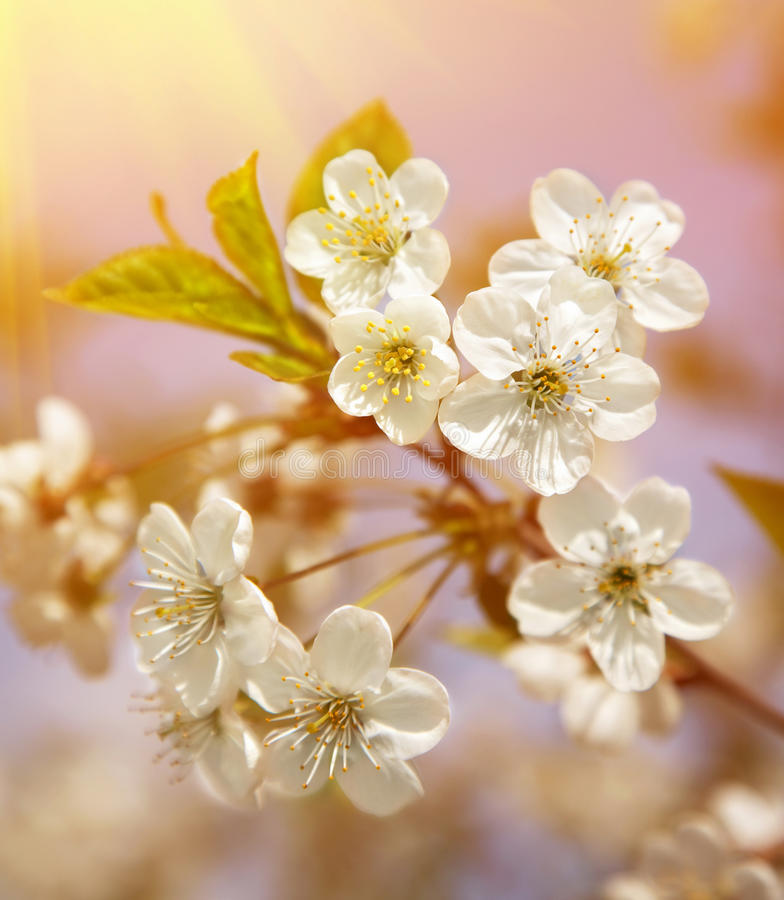 Free Spring Blooming Sakura Cherry Flowers Branch Stock Image - 24827821