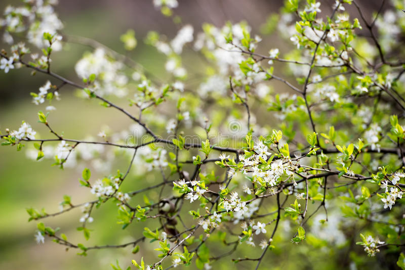 Download Spring Blooming Tree Branches Stock Photo - Image of life, flowers: 83701292