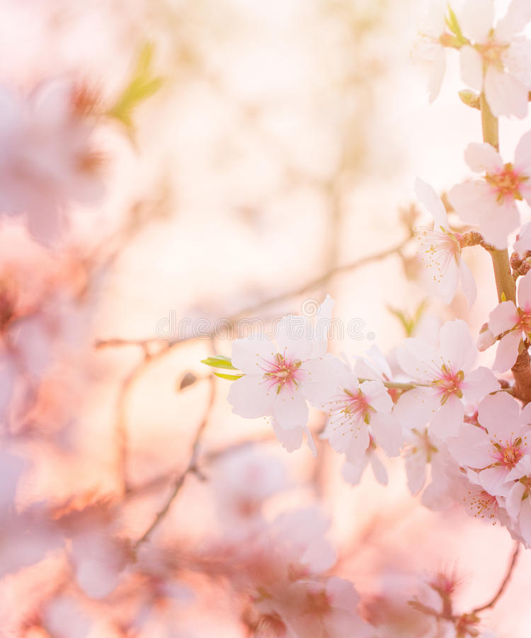Spring blooming tree dreamy sunny background stock photography