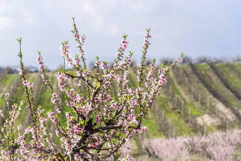 Spring-blooming tree in front of the nectar tree`s filed, outdoor, close up. Spring-blooming tree on a fair weather in front of the nectar tree`s filed, outdoor stock photo