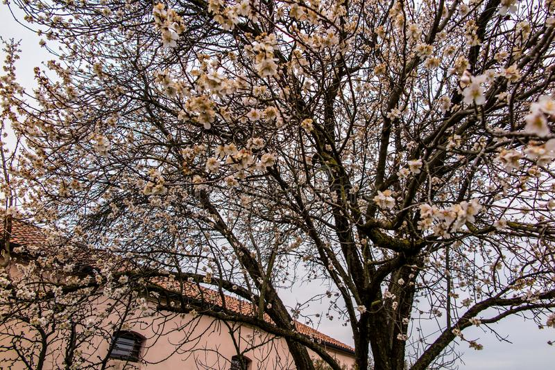 Spring blooming tree with light pink blossom in the city. Burano island, Italy stock photos