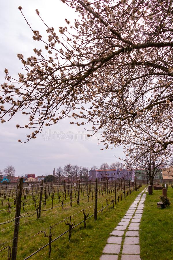 Spring blooming tree with light pink blossom in the city. Burano island, Italy royalty free stock image