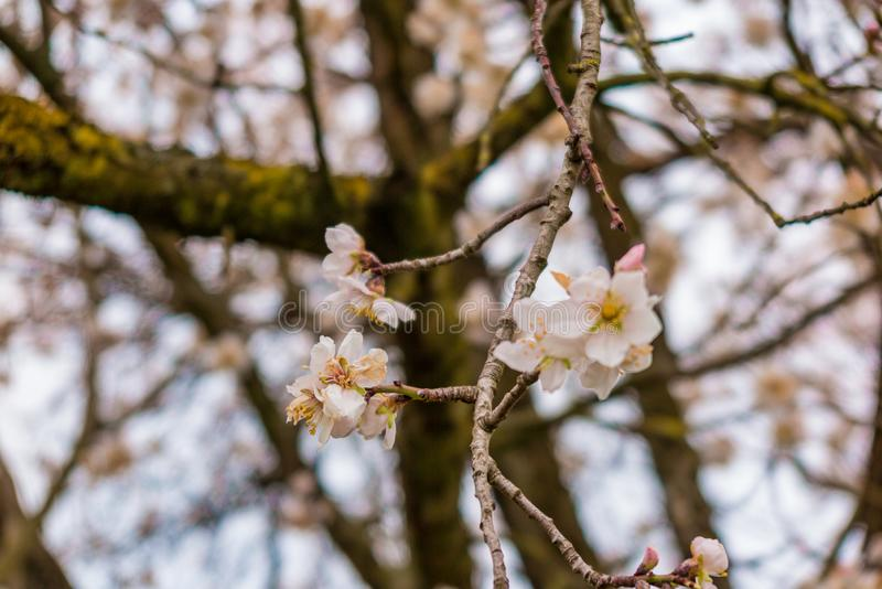 Spring blooming tree with light pink blossom in the city. Burano island, Italy stock photography