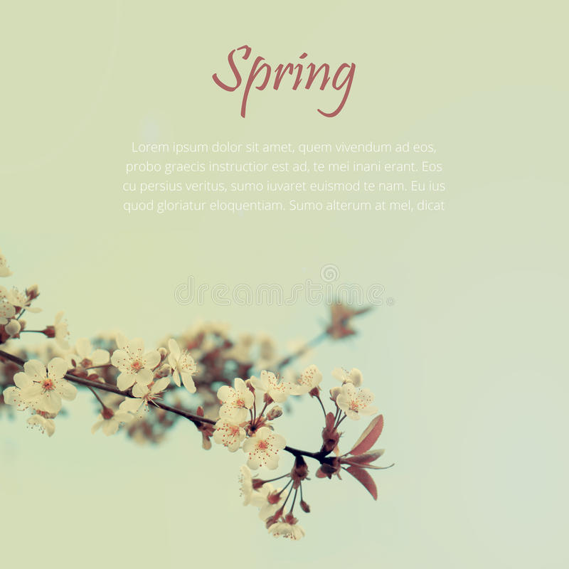 Spring blooming white cherry blossoms tree royalty free stock photo