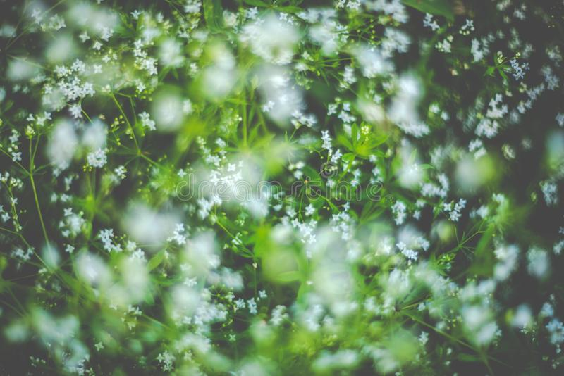 Spring blooming white flowers stock image