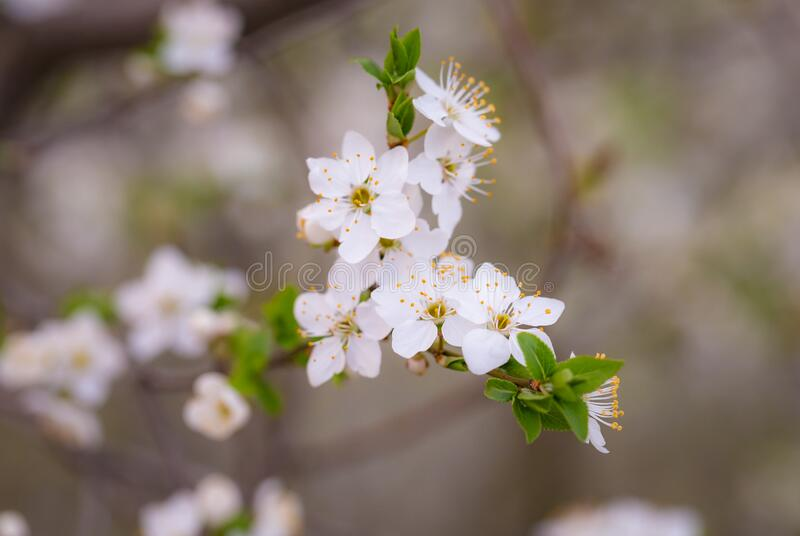 Spring blooms on branch stock image