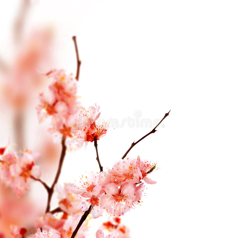Download Spring Blossom Royalty Free Stock Images - Image: 11636279