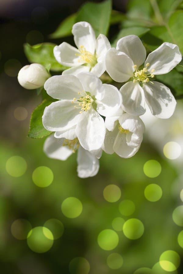 Spring  Blossom.Apple Brunch. Royalty Free Stock Image