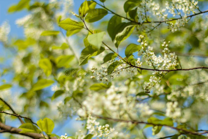 Spring Blossom art design. Orchard scene. Blossoming tree with sunbeams. Beautiful green nature background stock image