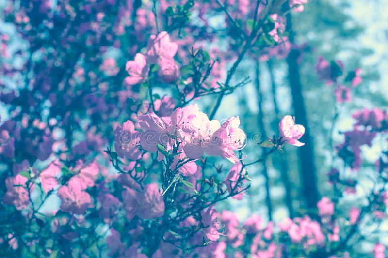 Blooming tree flowers in pink spring season of nature beauty. Spring flower landscape.Floral nature background, free space for tex. Spring blossom background in royalty free stock photos