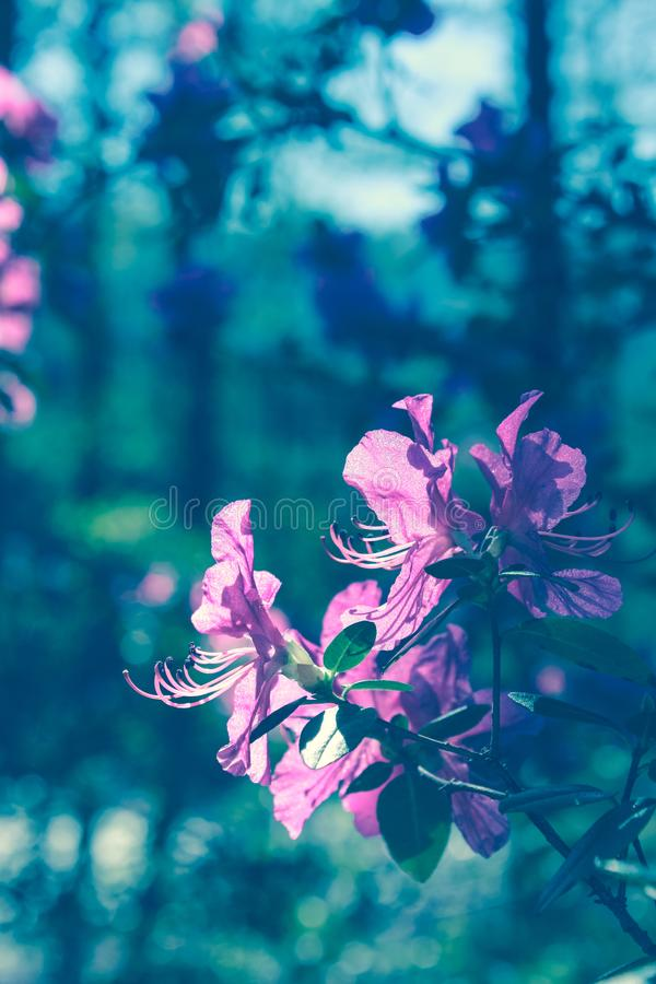Blooming tree flowers in pink spring season of nature beauty. Spring flower landscape.Floral nature background, free space for tex stock image