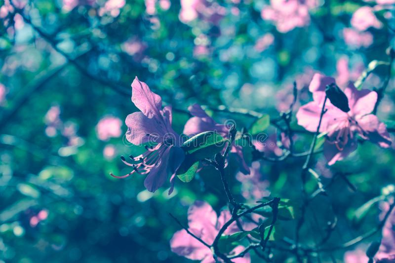 Blooming tree flowers in pink spring season of nature beauty. Spring flower landscape.Floral nature background, free space for tex. Spring blossom background in stock photography