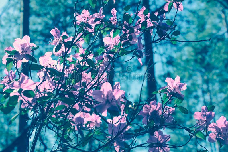 Blooming tree flowers in pink spring season of nature beauty. Spring flower landscape.Floral nature background, free space for tex stock photography