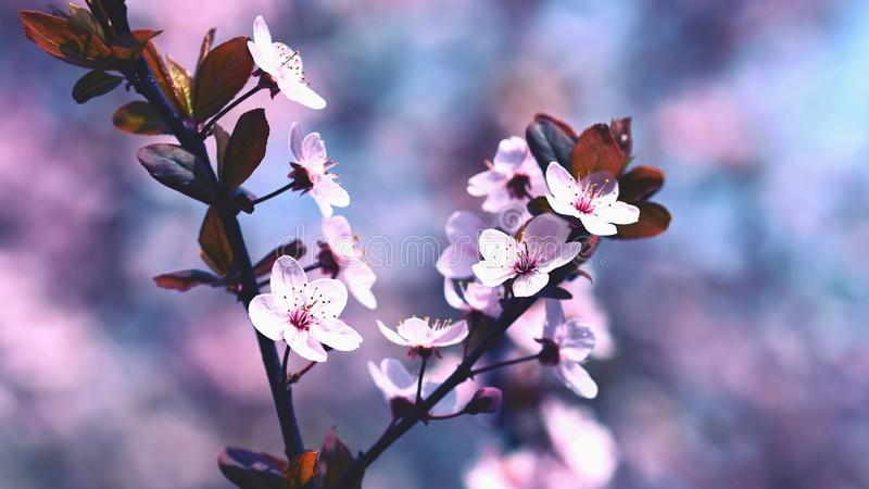 Spring blossom background. Beautiful nature scene with blooming cherry tree - Sakura. Orchard Abstract blurred background in stock images