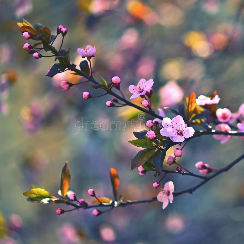 Spring blossom background. Beautiful nature scene with blooming cherry tree - Sakura. Orchard Abstract blurred background in stock image